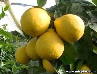 лимон от простуды