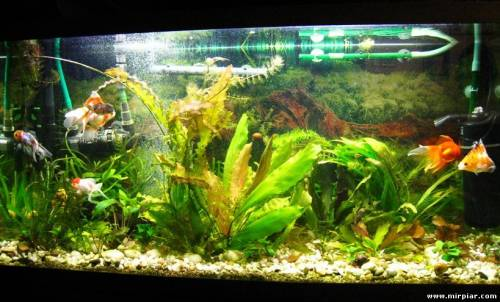 ...аквариумах золотые рыбки чувствуют себя, когда на одну взрослую рыбу...